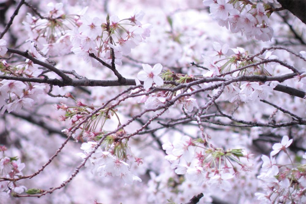 近所の2010年の桜-2