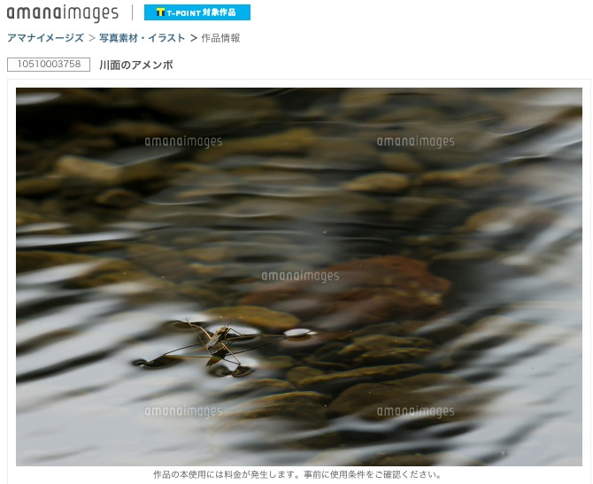 川面のアメンボ