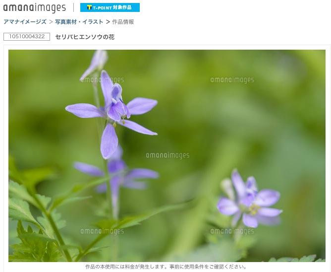 セリバヒエンソウの花