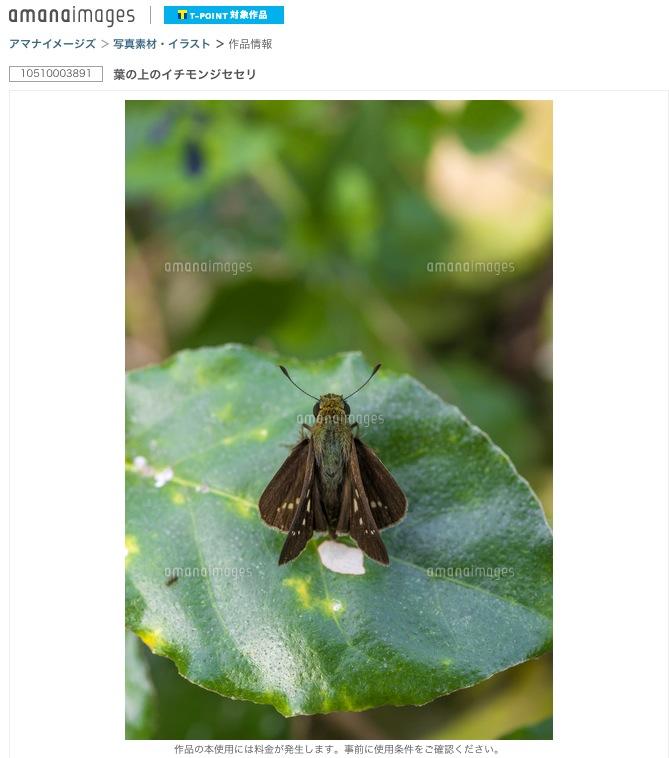 葉の上のイチモンジセセリ