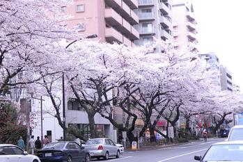 近所の桜は満開